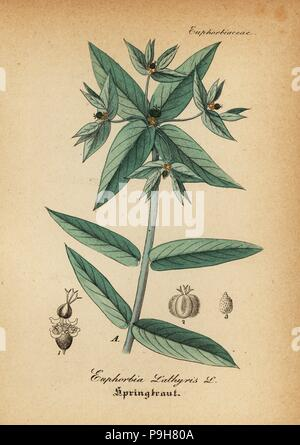 Caper spurge or paper spurge, Euphorbia lathyris. Handcoloured copperplate engraving from Dr. Willibald Artus' Hand-Atlas sammtlicher mediinisch-pharmaceutischer Gewachse, (Handbook of all medical-pharmaceutical plants), Jena, 1876. - Stock Image