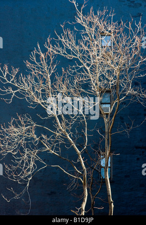 Graphic image of bare silver trees against a blue wall - Stock Image