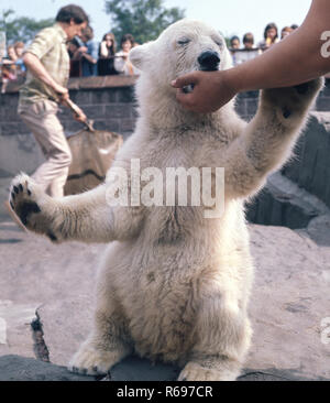 Polar bear cub Belle Vue Zoo - Stock Image