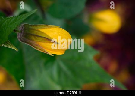 Flowering maple - Abutilon (South America). - Stock Image