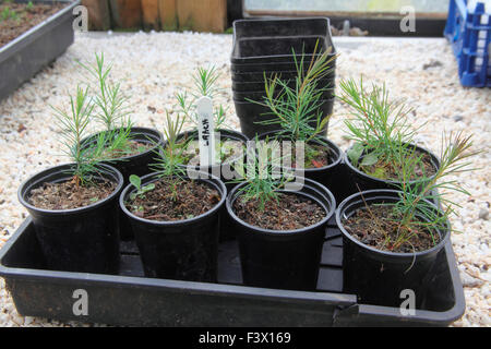 Larix decidua Larch seedling 9 month transplants growing on - Stock Image