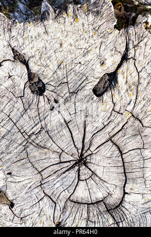Ghostly face revealed in cracked tree stump. - Stock Image