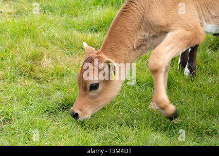 Young Jersey calf, cow, cattle, breed, in a field in West Sussex, UK - Stock Image
