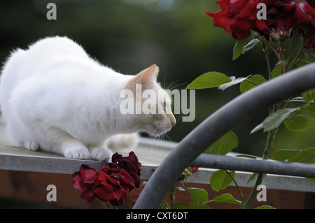 Thai cat lying on the roof next to a rose arch - Stock Image