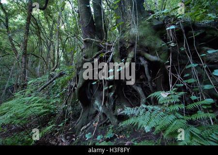 old tree roots in los tilos, la palma, canaries, spain - Stock Image