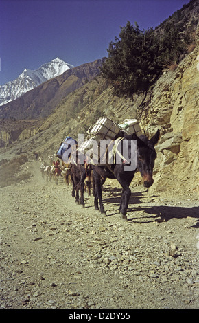 Loaded mules on track up Kali Gandaki world's deepest valley on Annapurna circuit Himalayas Nepal Dhaulagiri peak - Stock Image