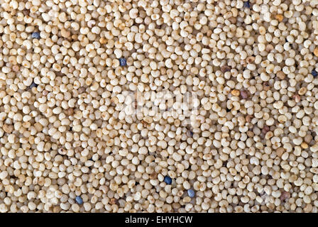 White poppy seeds background close up full frame. - Stock Image