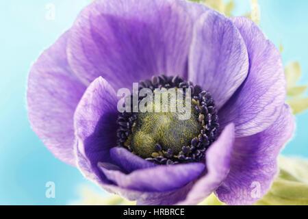 purple anemone summer flower exquisite still life purple on blue Jane Ann Butler Photography  JABP1850 - Stock Image