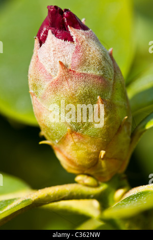 Close up of rhododendron bud just before starting to flower. - Stock Image