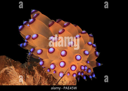 Purple-tipped Janolus (Janolus savinkini), Anilao, Philippines - Stock Image