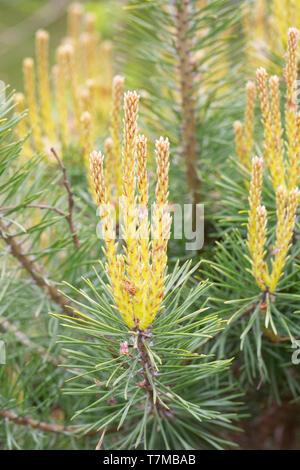 New growth Pinus sylvestris 'Trollguld'. - Stock Image