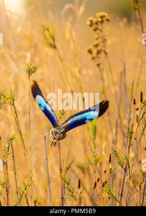 Lilac Breasted Roller takes flight, South Luangwa, Zambia - Stock Image