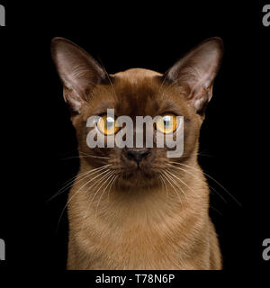 Portrait of Sable Burma Cat Stare in Camera isolated on black background, front view - Stock Image