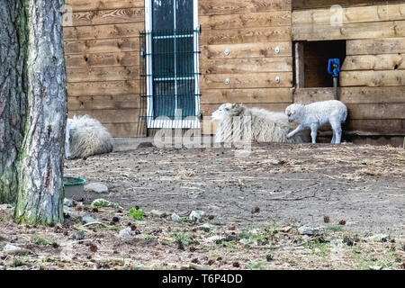 Skudde sheep at the  Schorfheide Game Reserve, in Brandenburg,Germany.The Skudde sheep  is a domesticated German breed that originated in East Prussia - Stock Image