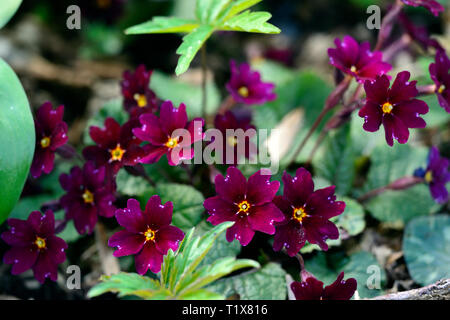 Primula, primrose,primroses,pink,flower,flowers,flowering,shade,shady,shaded,garden,spring,RM Floral - Stock Image