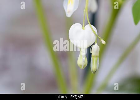 Alba Cultivar - Stock Image