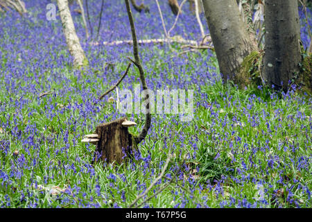 Bracket fungus on old tree stump with native English Bluebells growing in a Bluebell wood in spring. West Stoke, Chichester, West Sussex, England, UK - Stock Image
