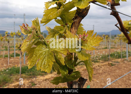 vineyard - Stock Image