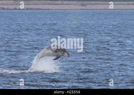 Bottlenose dolphin breaching in the Moray Firth - Stock Image