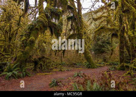 Hoh rain forest in Olympic national park, Washington - Stock Image