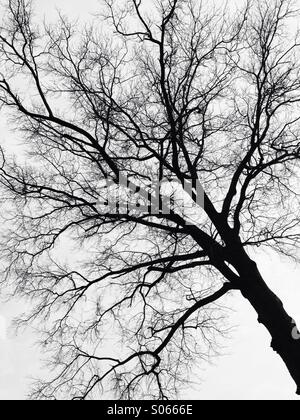 Silhouette of a tree on white sky - Stock Image