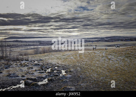 Herd of Tinker horses on a frosty pasture under a cloudy sky in Anundsjoe, Sweden. - Stock Image