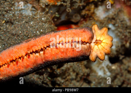 Luzon Sea Star, Echinaster luzonicus, showing a seven arm regeneration growing from the stump of a 'parent' arm. Please see below for more information - Stock Image