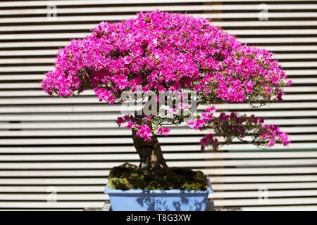 Kurume Azalea rhododendron hybrid bonsai, age 50 years, at Portland Japanese Garden in Portland, Oregon, USA. - Stock Image