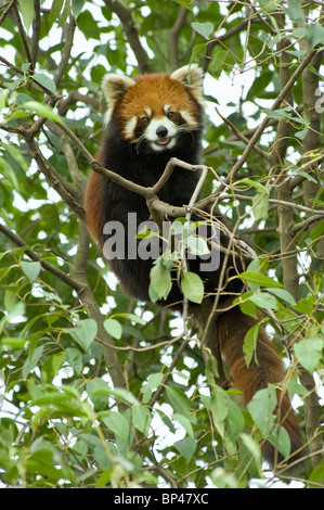 Red or lesser panda in tree Sichuan Province, China - Stock Image
