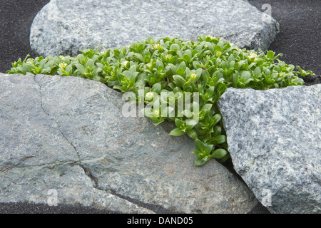 Sea Sandwort (Honckenya peploides) grows amongst stone and volcanic black sand Jökulsárlón 'glacial - Stock Image