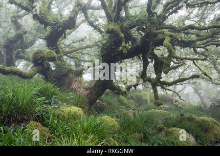 Wistmans wood Dartmoor national park Devon Uk - Stock Image