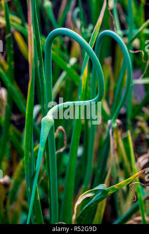 Gracefully curving garlic scapes - Stock Image