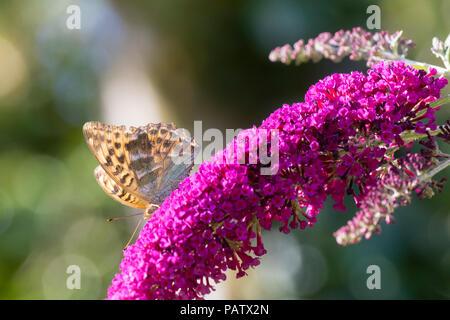 Silver washed fritillary, Argynnis paphia, nectaring on the flowers of the butterfly bush, Buddleja davidii 'Buzz Magenta' - Stock Image