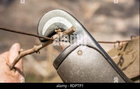 close-up of the electric tying machine to bind the vine shoot. Automatic Binder for Agriculture - Stock Image