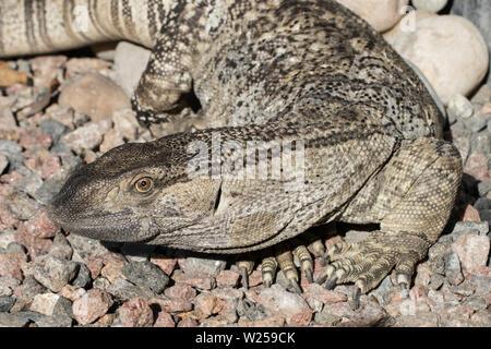 African Rock Monitor Varanus albigularis - Stock Image
