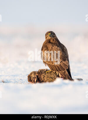 Common Buzzard feeding on a hare in snow, Koros-Maros National Park, Hungary - Stock Image