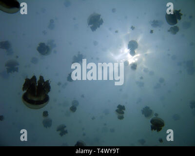 Plenty of Jellyfish, Viewed against the Surface. Jellyfish Lake, Kakaban, Indonesia - Stock Image