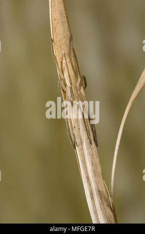 RUNNING CRAB SPIDER (Tibellus oblongus)PHILODROMIDAE - Stock Image