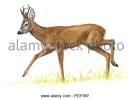 roebuck capreolus - Stock Image