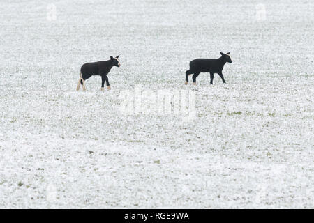 Stirlingshire, Scotland, UK. 29th Jan, 2019. UK weather - two black lambs investigating the snow in Stirlingshire Credit: Kay Roxby/Alamy Live News - Stock Image