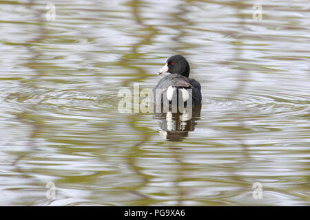 An American coot looking back over its tail. - Stock Image