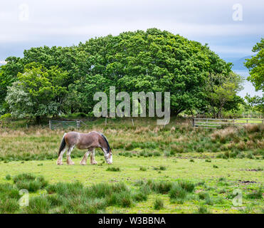 Clydesdale horse munching grass in field, Ardvasar, Sleat Peninsula, Isle of Skye, Scottish Highlands, Scotland, UK - Stock Image