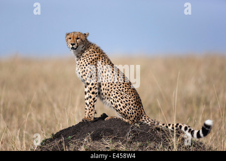 Cheetah (Acinonyx jubatus) - Stock Image