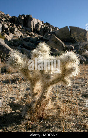 Cacti with white thorns among stones (Cylindropuntia echinocarpa) - Stock Image