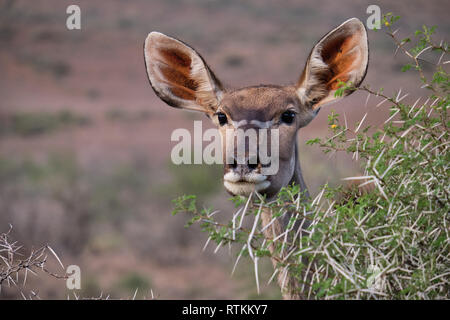 Head shot portrait of a female greater Kudu (Tragelaphus strepsiceros) peaking through the branch of an acacia bush - Stock Image