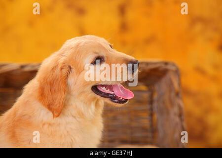 Hovawart, puppy, blonde, 8 weeks|Hovawart, Welpe, blond, 8 Wochen - Stock Image
