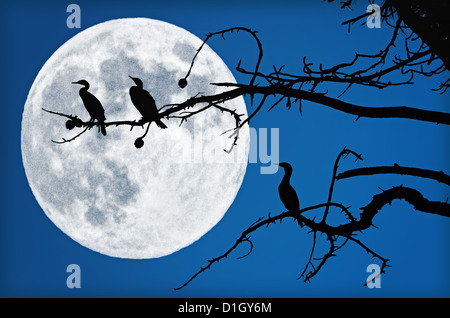 Three cormorants are sitting in a tree. They are silhouetted by a big, beautiful, full moon. - Stock Image