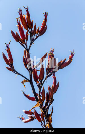 Phormium 'Tenax' Variegata in flower, against a blue sky - Stock Image