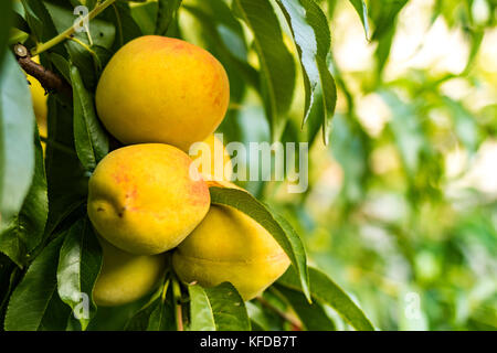 Peaches growing among green leaves - Stock Image