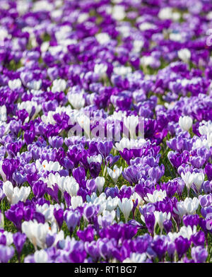 Spring crocuses. - Stock Image